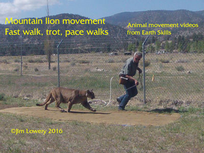 Mountain Lion Movement Study