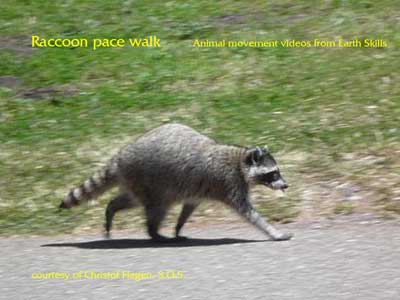 Racoon Pace Walk